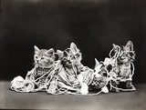 Entanglement - Cats Kittens With Twine - 1914 - Animal Photo Poster