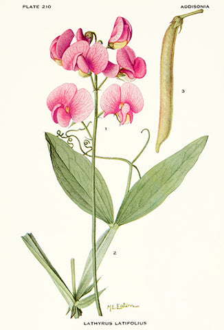 Everlasting Pea - Lathyrus Latifolius - 1921 - Flower Illustration Poster