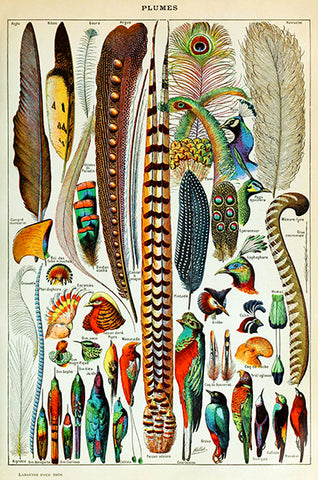Feathers - Plumes Chart - Bird Illustration Poster