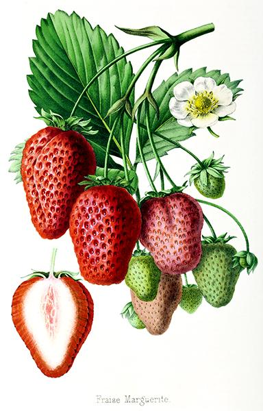 Fraise Marguerite - Strawberry - 1861 - Fruit Illustration Mug