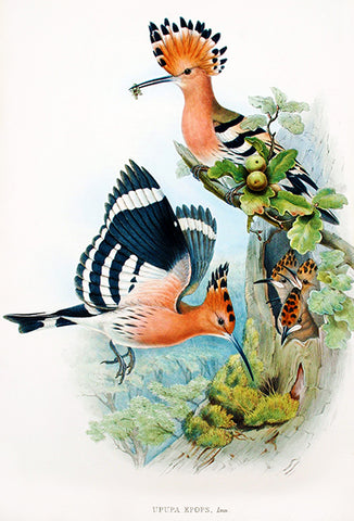 Hoopoe (Upupa Epops) - 1862 - Bird Illustration Poster