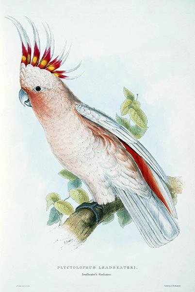 Leadbeater's Cockatoo - Plyctolophus Leadbeateri - E. Lear - Bird Illustration Magnet