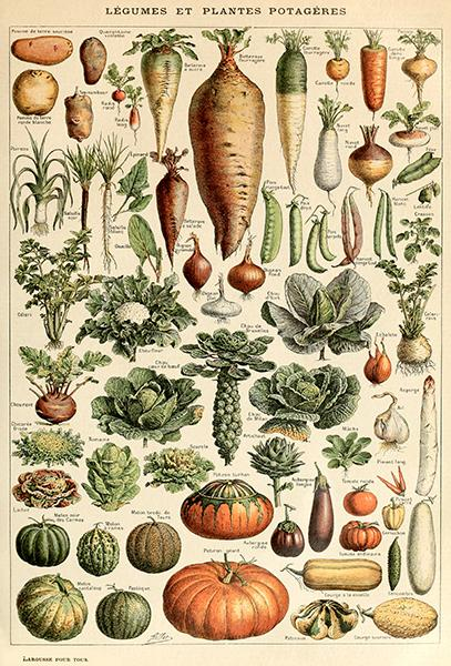 Legume And Vegetable Plants - 1909 - Illustration Magnet