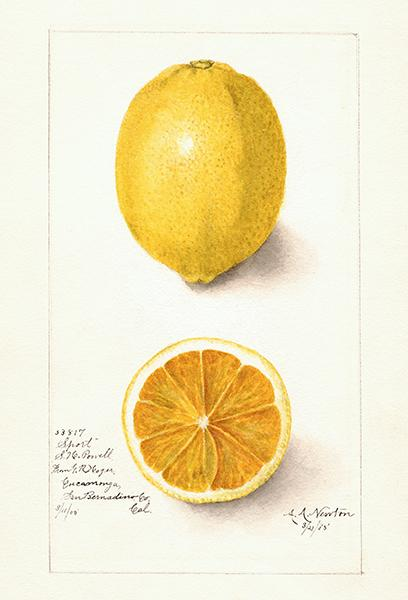 Lemon - Sport - 1905 - Fruit Illustration Magnet