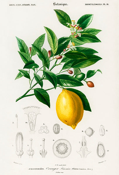 Lemon (Citrus Limonium) - Fruit Illustration Poster