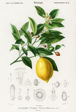 Lemon (Citrus Limonium) - Fruit Illustration Magnet