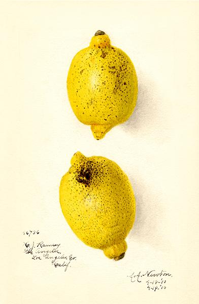 Limes - Citrus Aurantiifolia - 1910 - Fruit Illustration Magnet