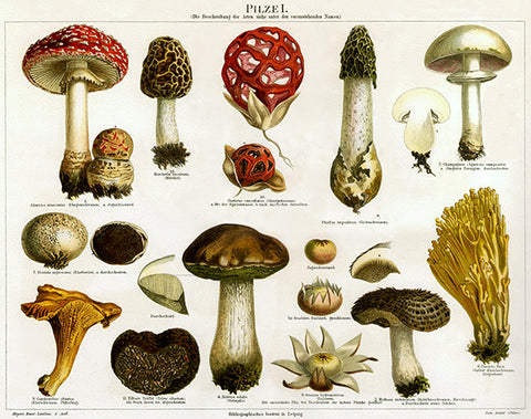 Pilzel - Types Of Mushrooms - 1895 - Illustration Poster