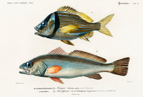 Porkfish & Shade-Fish Meagre - Fish Illustration Poster