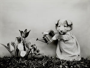 Puppy Watering Flowers - 1904 - Animal Photo Poster