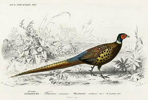 Ring-Necked Pheasant (Phasianus Colchicus) - Illustration Magnet