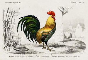 Rooster Cock Chicken (Gallus) - Illustration Magnet