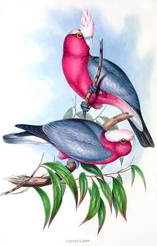 Rose-Breasted Cockatoo (Cacatua Eos) - 1848 - Australia - Bird Illustration Poster