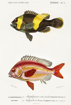 Saddleback Clownfish & Whitecheek Monocle Bream - Fish Illustration Magnet