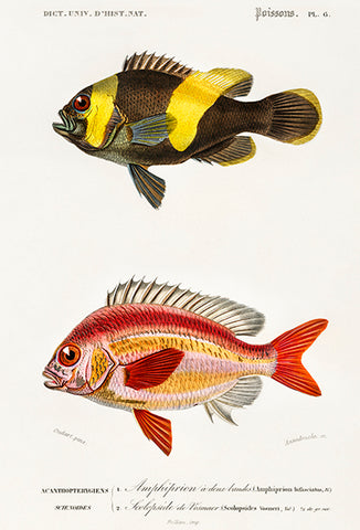 Saddleback Clownfish & Whitecheek Monocle Bream - Fish Illustration Poster