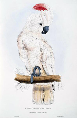 Salmon-Crested Cockatoo - Plyctolophus Rosaceus - E. Lear - Bird Illustration Magnet