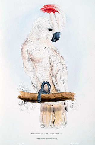 Salmon-Crested Cockatoo - Plyctolophus Rosaceus - E. Lear - Bird Illustration Poster