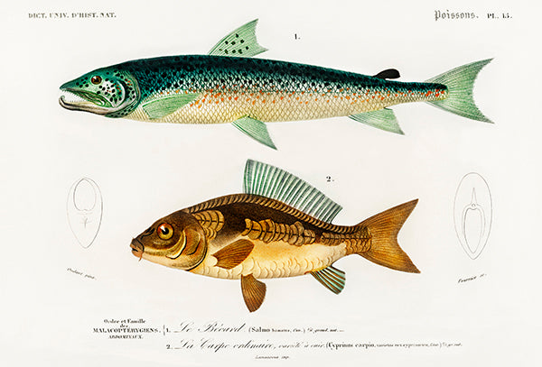 Salmon & Common Carp - Fish Illustration Poster