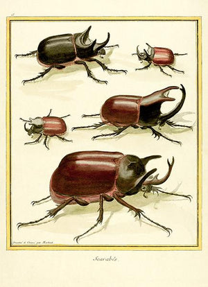 Scarabes - Beetles - 1783 - Insect Illustration Magnet