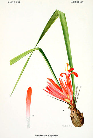 Stemless Pitcairnia Exscapa - Ecuador & Columbia - 1925 - Flower Illustration Poster