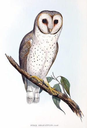 Strix Delicatulis - Delicate Owl - 1848 - Bird Illustration Magnet