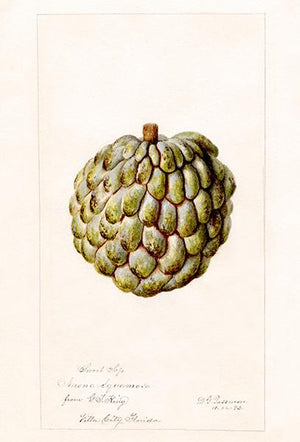 Sweet Sop - Annona Squamosa - 1892 - Fruit Illustration Magnet