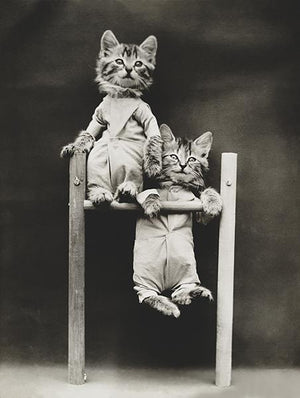 The Acrobats - Cats Kittens On A Pull-Up Bar - 1914 - Photo Magnet
