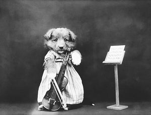 The Fiddler - Puppy Playing Musical Instrument Cello - 1914 - Photo Magnet