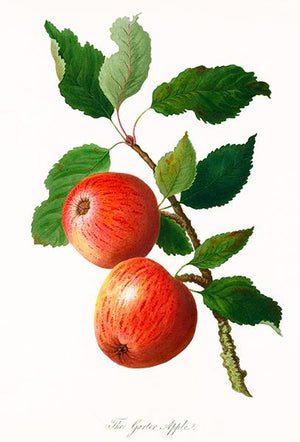 The Garter Apple - 1811 - Fruit Illustration Magnet