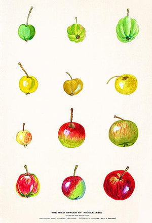 The Wild Apples of Middle Asia - 1887 - Fruit Illustration Magnet