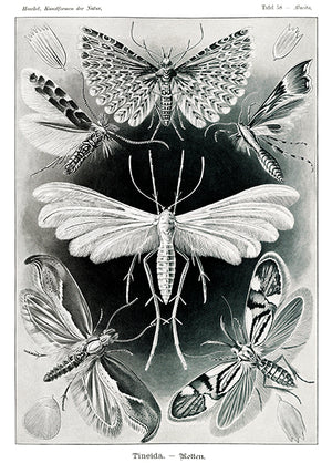 Tineida-Motten - Moths - 1904 - Illustration Mug