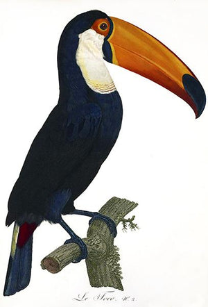 Toco Toucan - 1806 - Bird Illustration Magnet