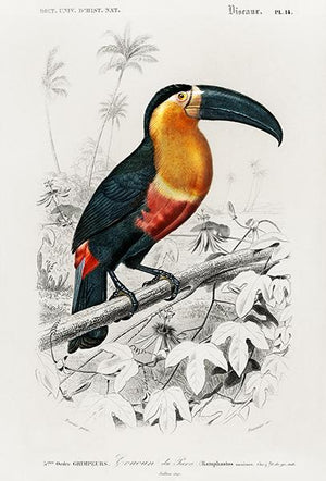 Toucan de Para  (Ramphastos) - Bird Illustration Magnet
