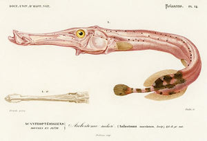 Trumpetfish (Aulostoma Maculatum) - Fish Illustration Magnet
