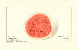 Watermelon - Tom Watson - 1916 - Fruit Illustration Magnet