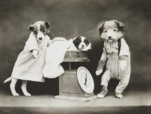 Weighing The Baby - Dogs And Puppy With A Scale - 1914 - Photo Magnet
