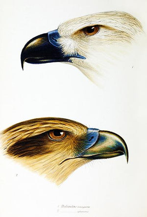 White-Bellied Sea Eagle And Whistling Kite - 1837 - Australia - Bird Illustration Magnet