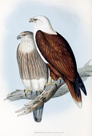 White Breasted Sea Eagle - Haliastur Leucosternus - 1848 - Bird Illustration Magnet