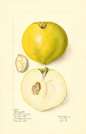 White Sapote - 1910 - Fruit Illustration Magnet