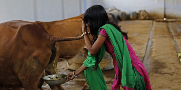 Not Milk, Cow Urine Is Apparently Selling Like Hot Cakes In India
