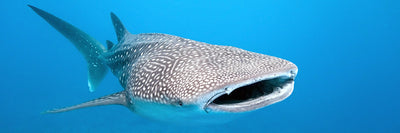 Whale shark sightings