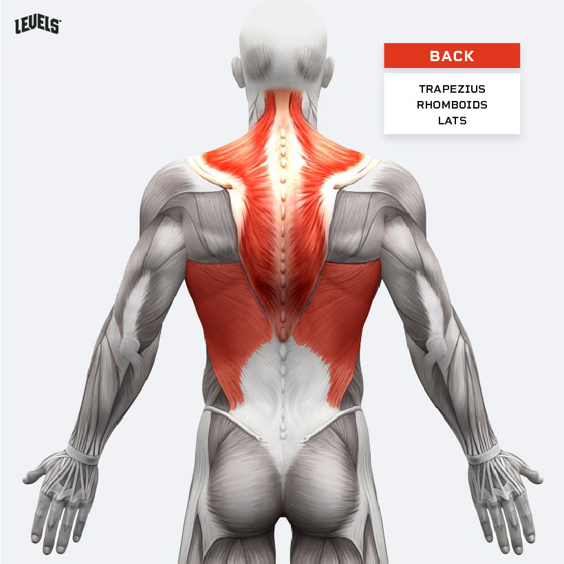 Muscle Groups - Back