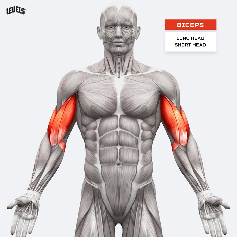 Muscle Groups - Biceps