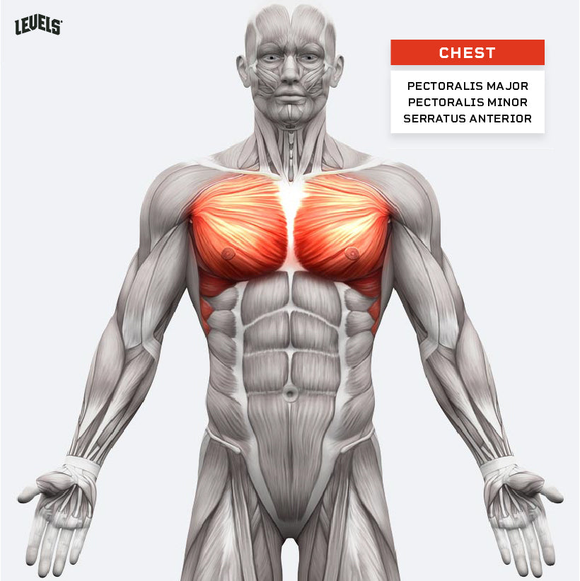Muscle Groups - Chest