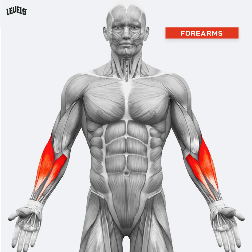 Muscle Groups - Forearms