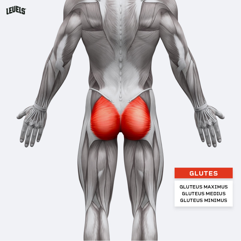 Muscle Groups - Glutes
