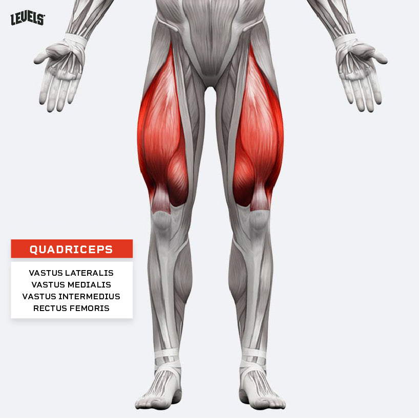 Muscle Groups - Quadriceps