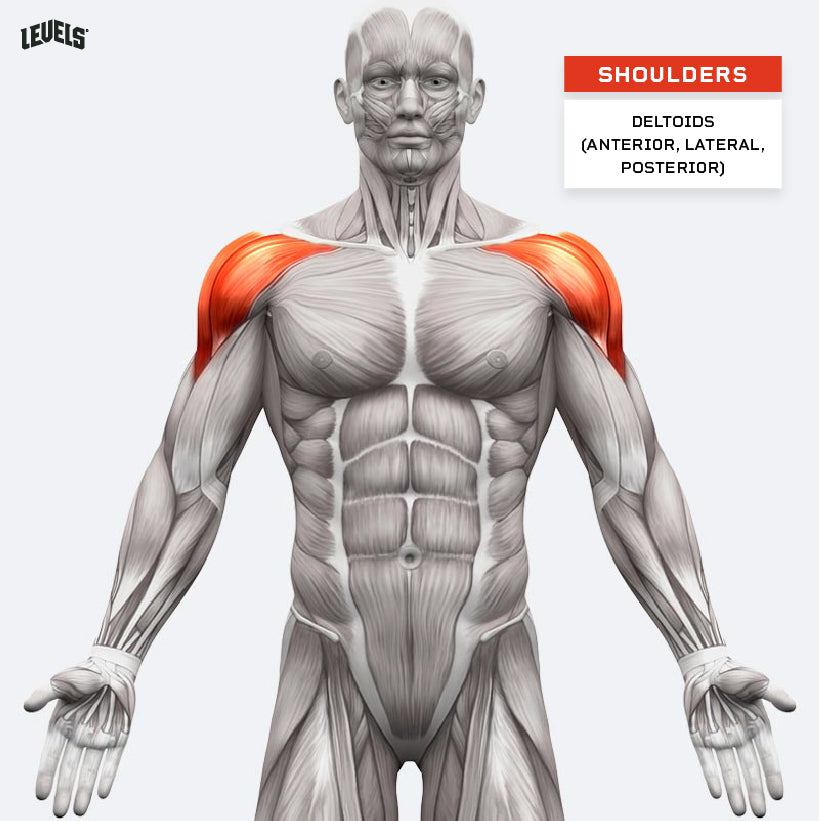 Muscle Groups - Shoulders