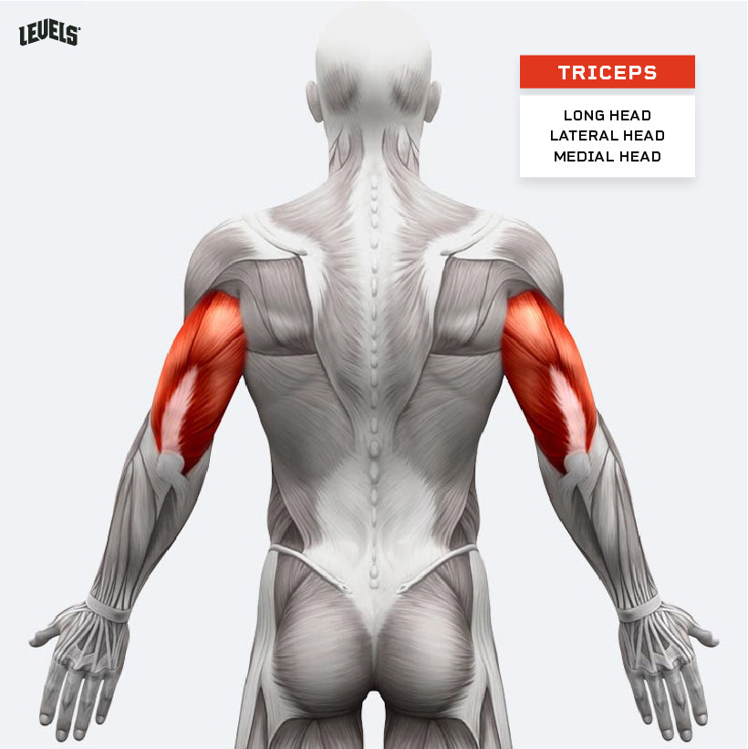 Muscle Groups - Triceps