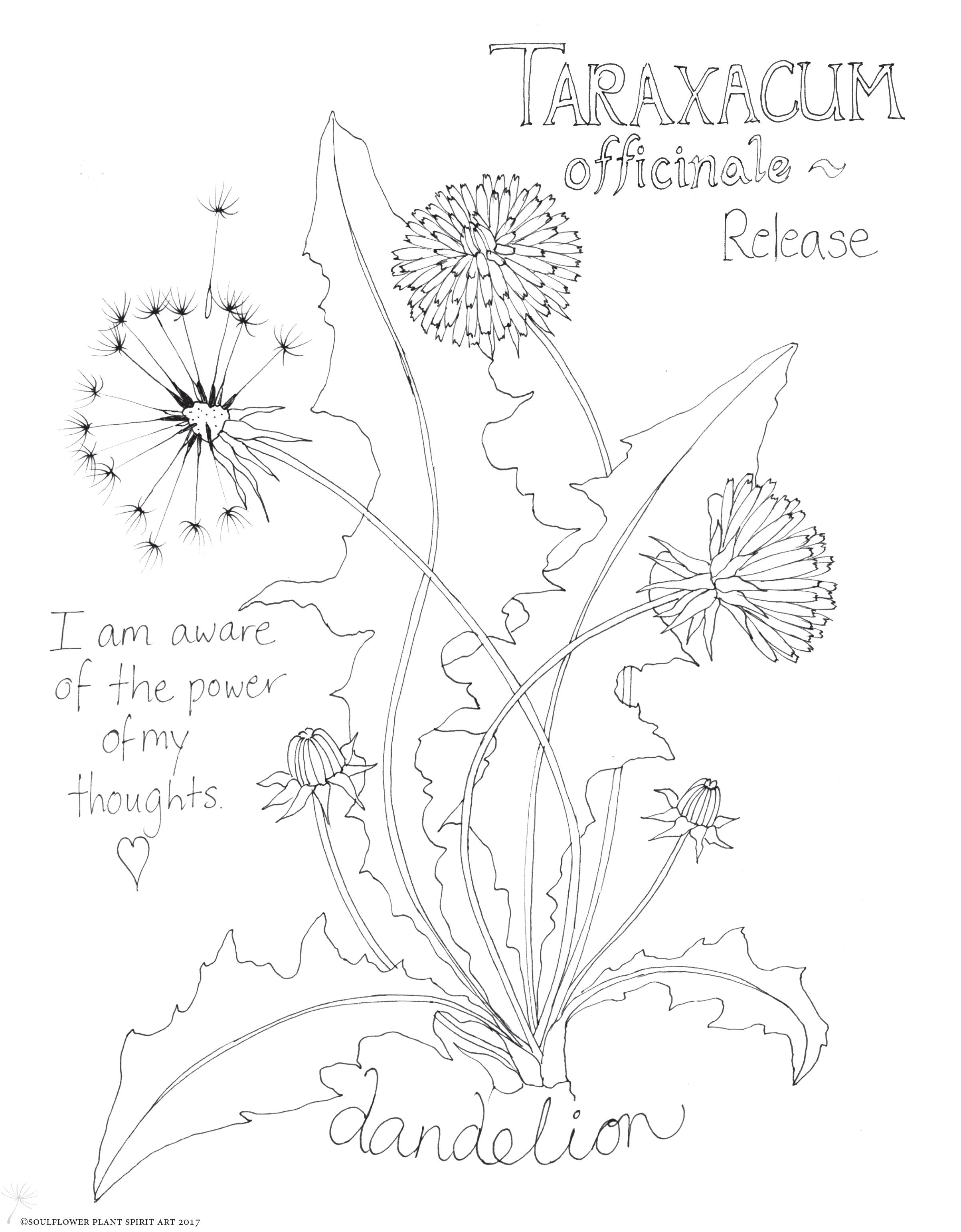 Dandelion Flower Line Drawing : Dandelion coloring page my soulflower